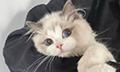如何正确抱住猫猫?